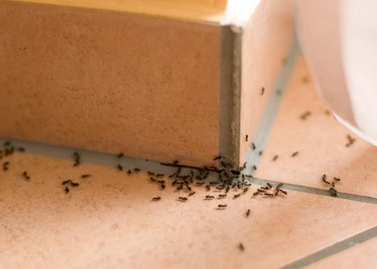 insetos que vivem nas casas