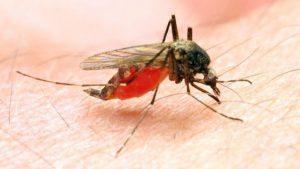 Mosquitos que transmitem Malária