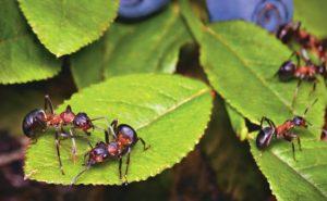 formigas no quintal