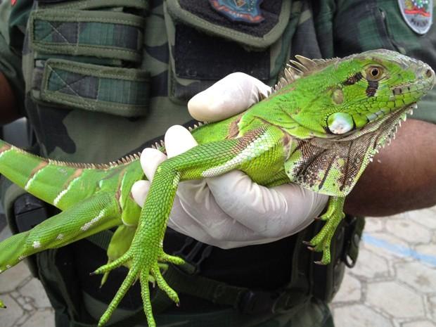 Iguana encontrada na tubulação